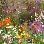 A Country Garden Display with a Favourite the Crocosmia