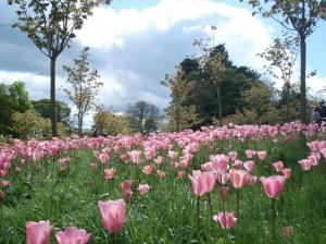 Fields of pink tulips in Alnwick Gardens