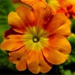 Orange primula