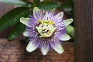 Passion Flower in our Troon Garden